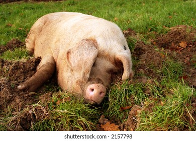 Pig wallowing