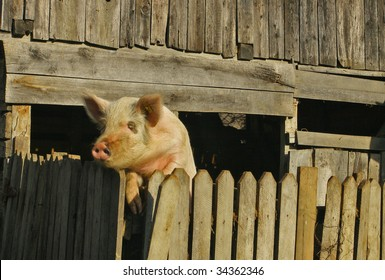 A pig watching over the fence