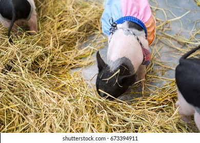 Pig wear clothes in a stall with straw