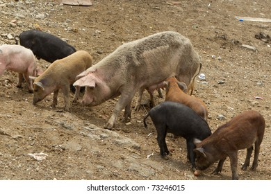 PIG WITH YOUNG CUBS SUCKING