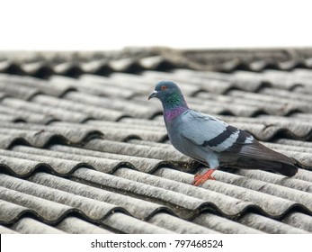 Pigeon bird concept. Feral pigeon on roof of building in school on sky background. Trained they are able to return to home loft if released at a location called homing pigeons. It cute colorful bird