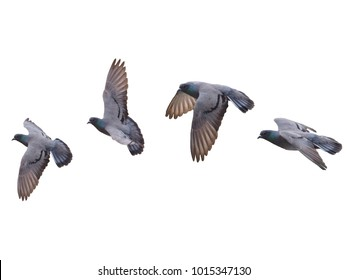 Pigeon Bird fly flying isolated on white background