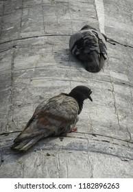 pigeon bird on roof