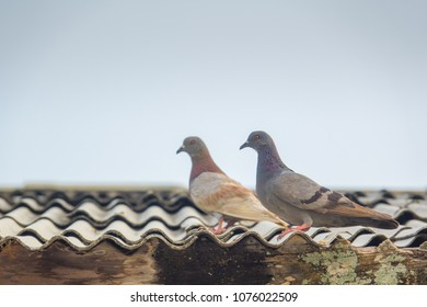 Pigeon bird on roof. Feral pigeon is beauty and standing on roof of building on blue sky