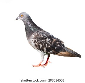 pigeon birds isolated on white background