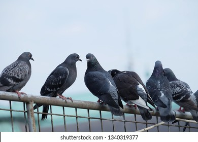 Pigeon birds standing together with friends.Pigeons sitting.Isolated pigeons.Portrait of birds.Birds in Barcelona,spain.Group of birds.Group of pigeons and the dove.Bird couple.