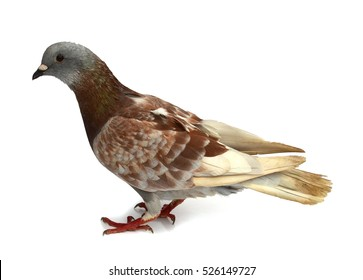 pigeon brown bird isolated on white background