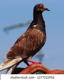 Pigeon with brown feathers, with a wacky way, perched on the roof under a blue sky, Sao Paulo, Brazil