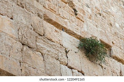 a pigeon and caper plant living on the western wall (the Kotel) in old jerusalem in israel