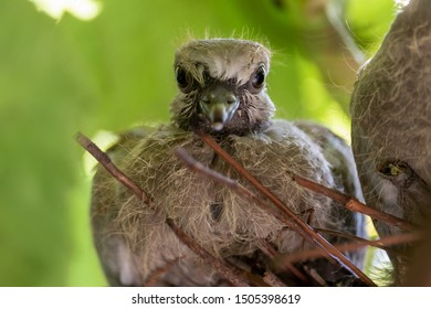 Pigeon chick (Streptopelus capicola) view from nest, delivery plumage, close-up