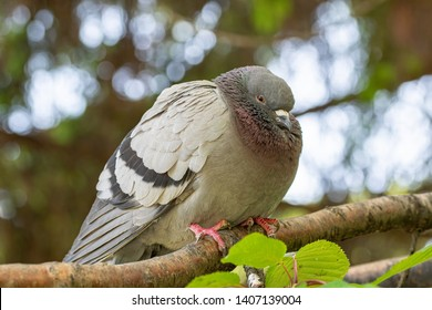 Pigeon of the Church. Pigeon view. Lonely dove bird. One pigeon. Dove close up view. Dove - a bird of peace. Pigeon standing alone.