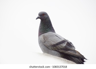 Pigeon with clear sky