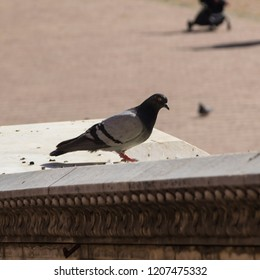Pigeon close up in Campo square (Piazza del Campo). Siena, Italy
