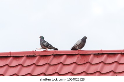 Pigeon couple separating: one pigeon leaving the other in a funny mid step position