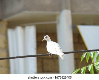 pigeon , dove Albino dove in the city. white dove. Laughing dove. Albino animal Pigeon in the city, Baby pigeon, Beautiful bird, baby bird, baby animal, birds, wildlife, wild nature Animal in the city