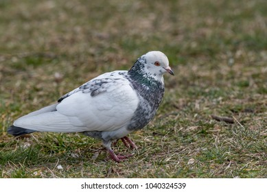 Pigeon. Dove. The large bird genus Columba comprises a group of medium to large stout-bodied pigeons, often referred to as the typical pigeons