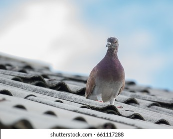 Pigeon or dove on roofs. In picture see gray tile roof and a beautiful background of sky and cloud. Feral pigeon gray and brown mixed together looking at camera was impressed and fresh (Dove concept)