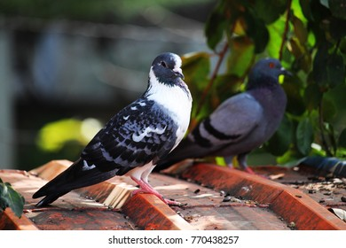Pigeon or dove on roofs. In picture see gray tile roof and a beautiful background of sky and cloud. Feral pigeon gray and brown mixed together looking at camera was impressed and fresh