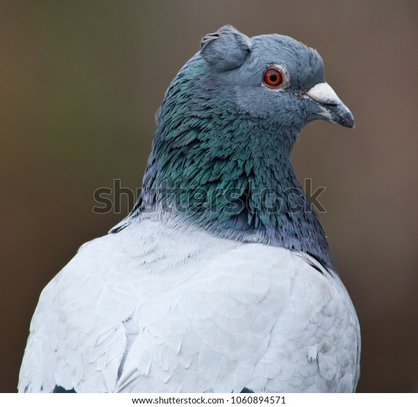 A pigeon with a ear-like feather