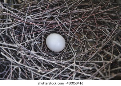 pigeon egg and nest
