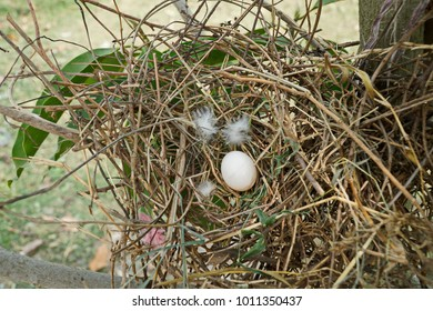 pigeon Egg on the nest