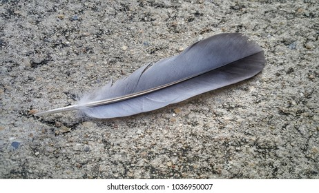 Pigeon feather isolated on concrete blackground