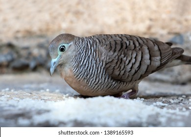 A pigeon is feeding the rice in the backyard, Thailand. Zebra dove eat hard grains of white rice, close up.