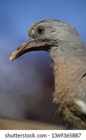 Pigeon fledgling up close
