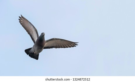Pigeon in flight close up, blue sky