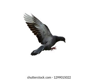 Pigeon flying isolated on white background with clipping path