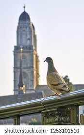 Pigeon in front of the church Grossmünster