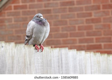 pigeon, homing pigeon sitting on garden fence, red brick wall in background