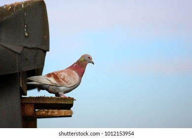 Pigeon leaving in the morning from the dovecote on a background of blue sky.