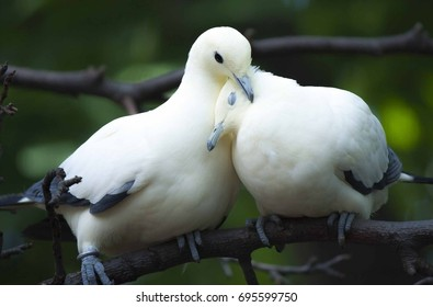 Pigeon in love