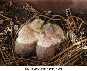 pigeon nestling closeup