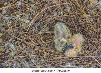 Pigeon nestlings bird sitting together with lot of bird droppings.