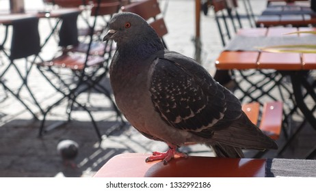 Pigeon on a coffee table in Venice