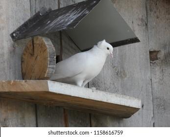 Pigeon on the dovecote