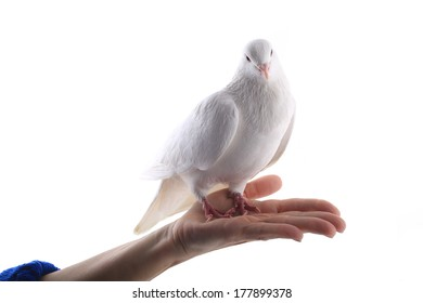 pigeon on a hand at  woman on a white background