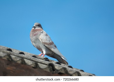 pigeon on roof of house. The gray beautiful pigeon standing on roof and looking at the camera beautifully. Behind pigeon is the sky background is beautiful. Pigeon or Dove for peace freedom of people