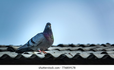 pigeon on roof of house. The gray beautiful feral pigeon standing on roof and looking at the camera. Behind it is the sky background is beautiful. Pigeon or Dove for peace freedom of people believe.