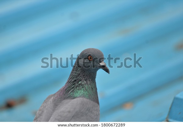 Pigeon on roof top searching for food