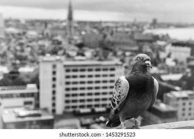 Pigeon on the rooftocht, skyline of Antwerp in the background, juli 14, 2019, Belgium