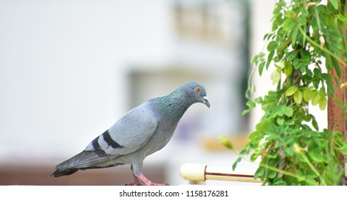Pigeon on terrace