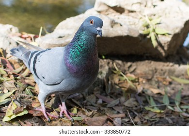 Pigeon in the park. Photographed from close distance, near lake. Looking in the camera. Colorful feathering.