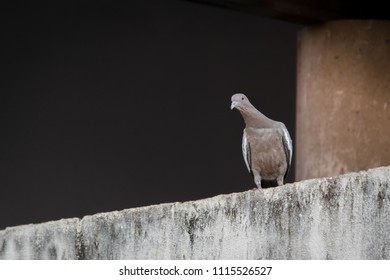 Pigeon perched on a wall observed what happens with the neck stretched.