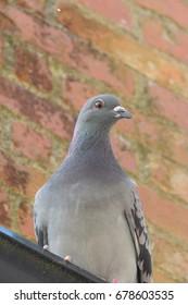 A pigeon in Pipe Well in Liskeard, Cornwall