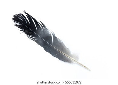 Pigeon Quill. Feather Isolated on White Background