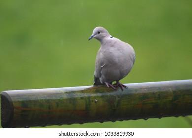 pigeon in the rain