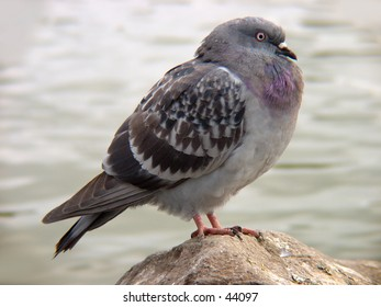 Pigeon at rest on a rock